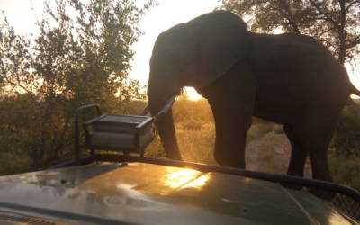 Great study of elephant at Sunset