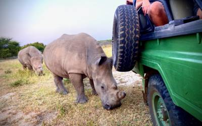 Two extremely close White Rhino make for a thrilling guest experience