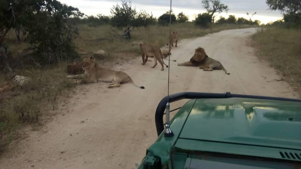 Lions near Tremisana Lodge