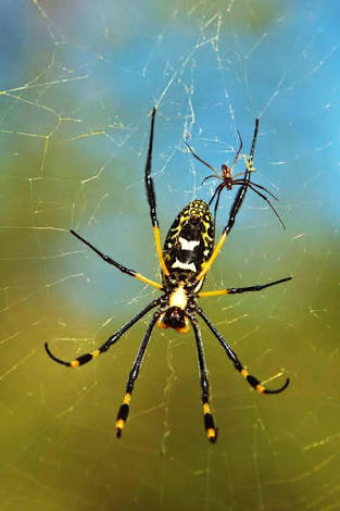 Golden Orb Spider pair