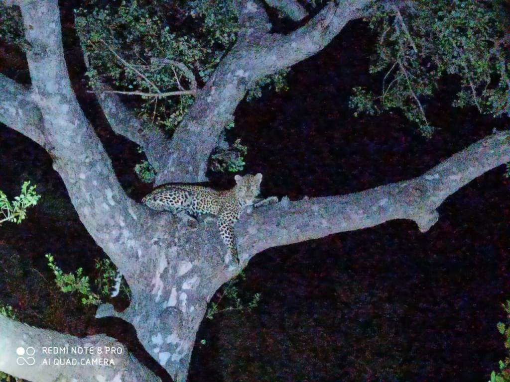 Leopard seen during our last Sunset Drive