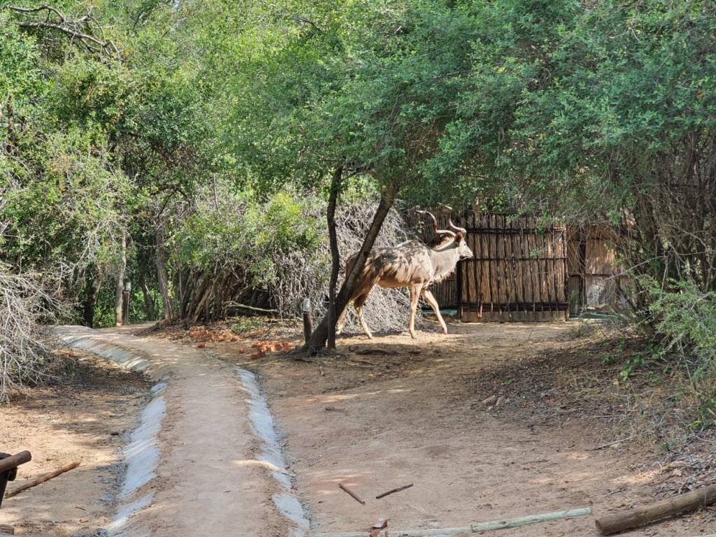 Kudu Bull near newly constructed pathway