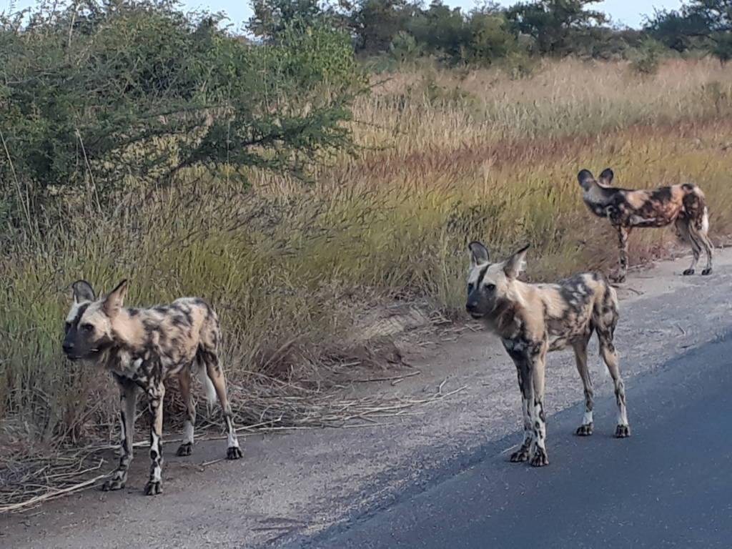 Wild Dogs near Orpen