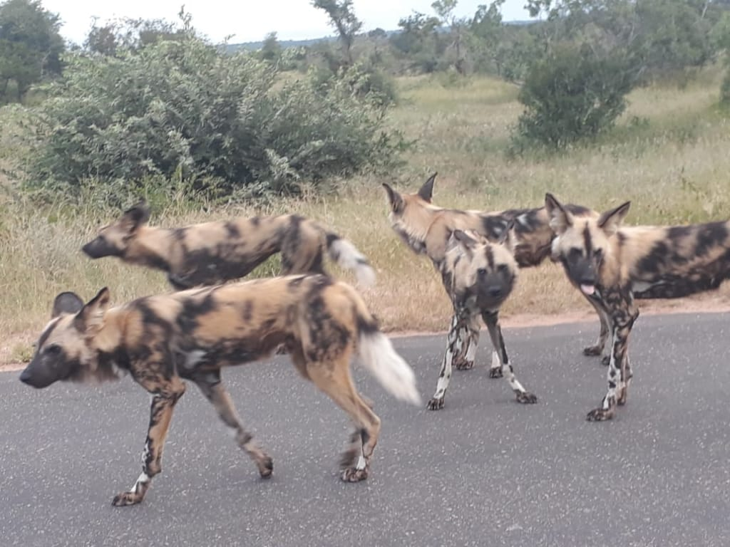 Wild dogs near my open vehicle