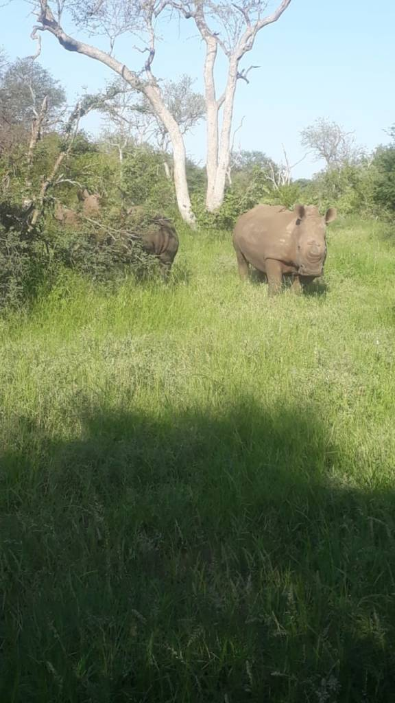 Great sighting of 2 White rhino