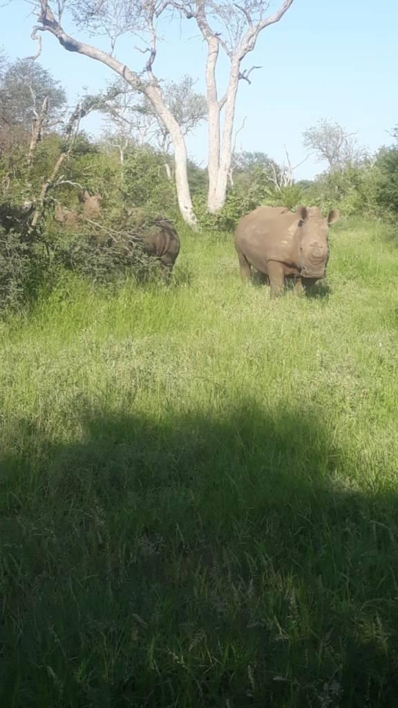 Great sighting of 2 White rhino