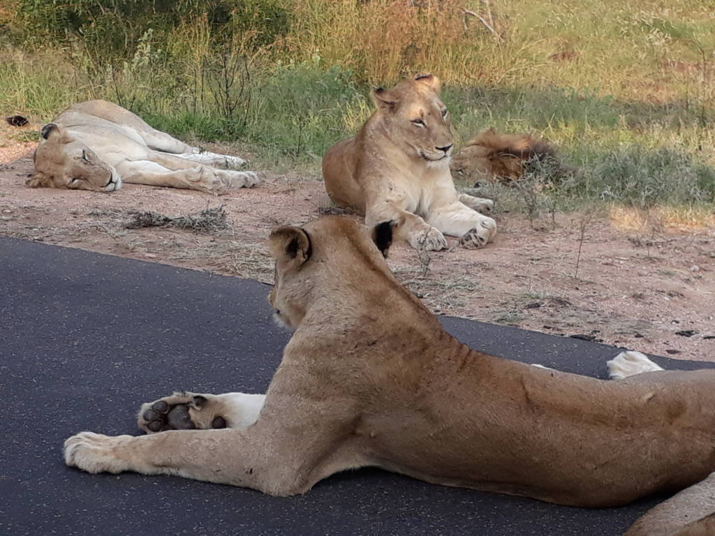 Lions near vehicle