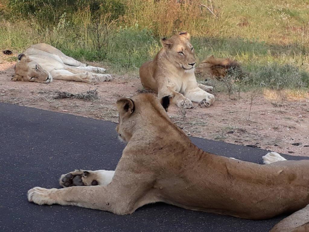 Lions near vehicle
