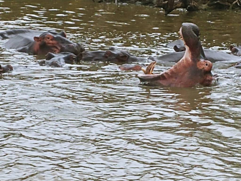 Photo of hippo pod taken from boat